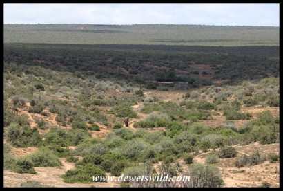 A big elephant bull almost disappears in the wide open spaces of the Addo Elephant National Park