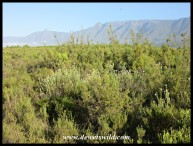Bontebok is a stronghold for the endangered Renosterveld vegetation