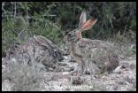 Scrub Hares