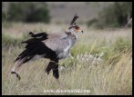 Wind-blown Secretarybird
