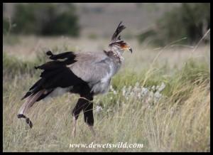 Wind-blown Secretarybird