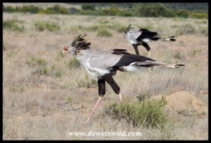 Secretarybirds