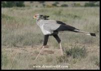 Secretarybird (photo by Joubert)