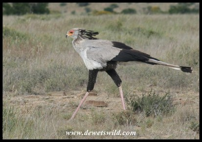 Secretarybird (photo by Joubert)