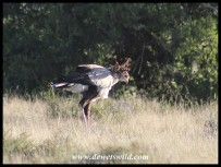 Wind-blown Secretary Bird