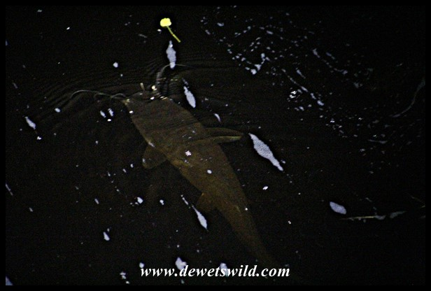 Sharptooth Catfish patrolling the water of the Breede River after dark