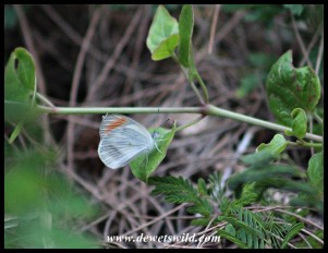Small Orange Tip butterfly