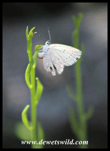 African Grass Blue butterfly