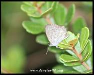 Sooty Blue butterfly