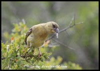Southern Masked Weaver female