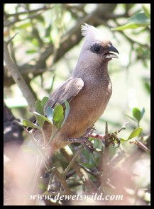 Speckled Mousebird at Jack's Picnic Spot