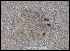 Spotted Hyena track at Mission Rocks