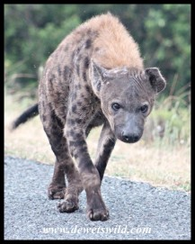 Scruffy-looking Spotted Hyena