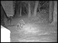 Spotted Hyena outside our cabin in the dark of night
