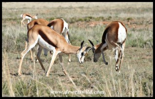 Young Springbok rams testing their strength (photo by Joubert)