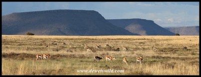 Springbok on the wide open plains of the Mountain Zebra National Park
