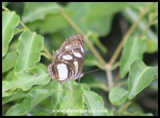 Streaked Sailer butterfly