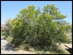 Sweet Thorn tree