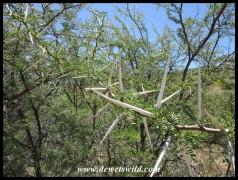 Imposing Sweet Thorn thorns