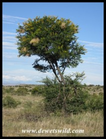 Sweet Thorn tree with Sparrow-Weaver nests