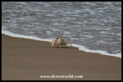 Ghost Crab scavenging at the water's edge