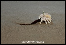 Ghost Crab with a piece of seaweed