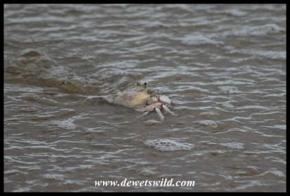 Ghost Crab in the surf