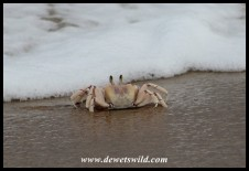 Daredevil Surfing Ghost Crab