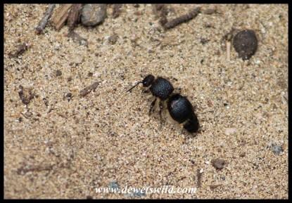 Unidentified Flightless Wasp