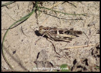 An as yet unidentified grasshopper