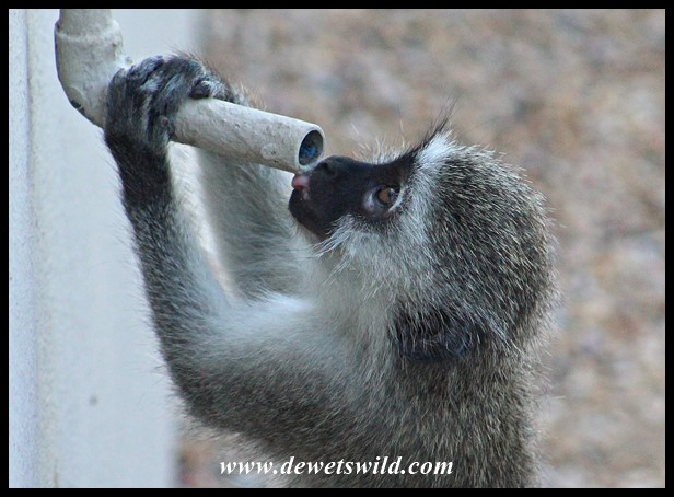 Vervet Monkey drinking from an airconditioner outlet