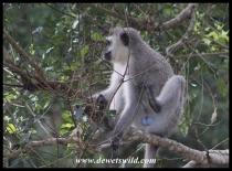 Dominant male Vervet Monkey