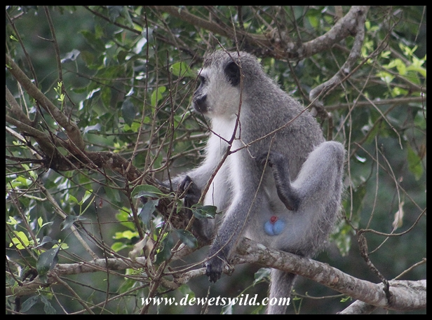 Dominant male Vervet Monkey