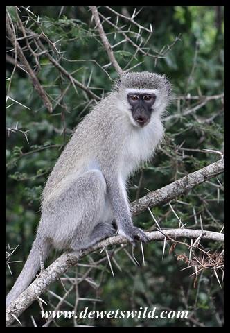 Vervet Monkey (sitting on a thorn, perhaps!?)