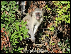 Alarmed Vervet Monkey