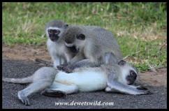 Grooming Vervet Monkeys
