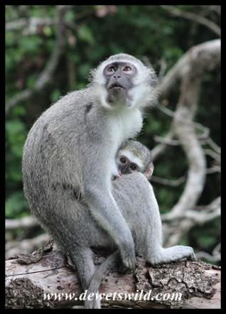 Peek-a-boo! Mother and baby Vervet Monkey