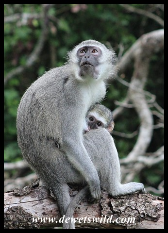 Peek-a-boo! Mother and baby Vervet Monkey