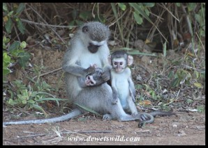 Cute little Vervet Monkeys - just look at that smile!