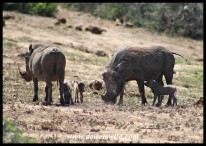 Warthog piglets with their moms
