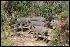 Warthog piglets