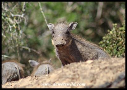 Warthog piglet