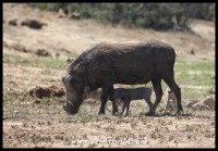 Warthog piglets with their mom
