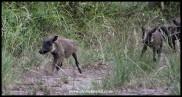 Little Warthogs