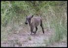 Little Warthog