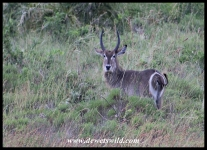 Youngish Waterbuck bull