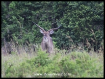 Waterbuck with oddly shaped horns