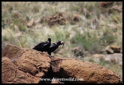 White-necked Ravens that caught a Red-winged Starling chick