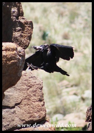 White-necked Raven that caught a Red-winged Starling chick