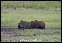 Lazy White Rhinos